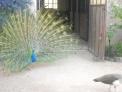 foto animali della fattoria,fattorie didattiche:pavone-sulla coda del pavone sembra che ci siano tanti occhi per attirare la femmina del pavone.Nelle fattorie didattiche e in agriturismo per bambini