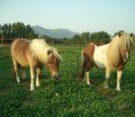 foto animali della fattoria.fattorie didattiche:cavallo-i pony cavallini assai carini nitriscono come tutti i cavalli per farsi sentire.Nella fattoria didattica tanto buon latte fresco appena munto