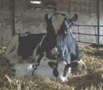 foto animali della fattoria,fattorie didattiche:mucca-la mucca ha appena partorito un vitellino.mucca con vitello appena nato,foto di vitello appena nato,immagine di vitello con mucca