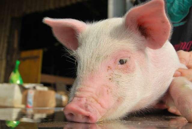 Foto animali della fattoria fattoria didattica maiali i for Fattoria immagini da colorare