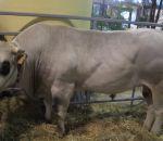 foto animali della fattoria.fattoria didattica:toro-toro di razza piemonte,la piemontese è una razza da carne.Le fattorie didattiche della provincia di Varese producono dell'ottimo latte fresco appena munto