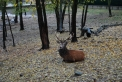 animali selvatici della fattoria didattica..il cervo dalle lunghe corna nel bosco..fattoria didattica in lombardia..scuole in fattoria..
