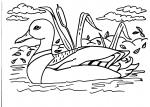disegni animali da colorare:anatra,stagno-dove ci sono corsi d'acqua vivono le anatre,in mezzo alle canne fanno il nido e covano le uova da cui nasceranno degli splendidi anatroccoli,agriturismi in provincia di varese,prodotti tipici varese..disegno oca