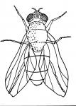 disegno mosca da colorare per bambin..insetto..mosca disegno da colorare..disegno ragnetto da colorare..disegno ragno da colorare..zanzara da colorare