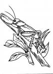 disegni per bambini da colorare:cavalletta,le cavallette insetti..disegno cavalletta da colorare..disegno insetto da colorare..disegno libellula da colorare..disegno lucciola da colorare..locusta da colorare