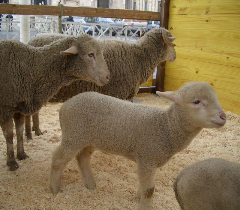 Immagini animali della fattoria agnello pecora gli animali for Fattoria immagini da colorare
