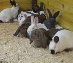immagini animali della fattoria:conigli,i conigli in Piazza S.Pietro per la benedizione degli animali per la festa di S.Antonio Abate.Fattorie didattiche in provincia di Varese si possono vedere anche i conigli e coniglietti