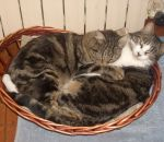 foto animali nella fattoria:gatto,gattini,micetti sono dei piccoli gattini ,bevono il latte da mamma gatta nella fattoria,agriturismi in provincia di varese,fattorie didattiche,didattica per bambini in fattoria,disegni da colorare per bambini di animali i