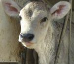 foto animali della fattoria,fattorie didattiche:vitello-vitellino appena nato di razza bruna alpina,razza bruna vive in montagna,di sola bruna,formaggio fresco con latte delle brune alpine,formaggio stagionato con latte di sola bruna,ricotta di latte
