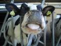 fattoria a Seso Calende caseificio con formaggio..latte fresco a Taino..mozzarella con latte di mucca in fattoria losetta a Taino..