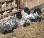 foto animali della fattoria,agnelli,agnellini che riposano,la mamma dell'agnello è la pecora,fattorie didattiche in provincia di varese,disegni animali da colorare per bambini,latte,prodotti tipici varesini