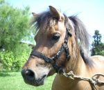foto di animali della fattoria,fattorie didattiche:maiale,cavallo,puledro-stallone-cavallail cavallo ha una lunga coda,il cavallo salta gli ostacoli,il puledrino è il piccolo del cavallo,bisogna bere il latte fresco appena munto,fattorie didattiche